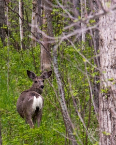 Deer near Whitecourt Mountain