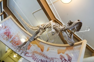 A gorgosaurus at the Dinosaur Provincial Park
