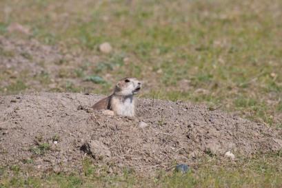 Prairie dog!