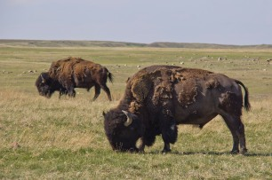 BISON! such cool animals